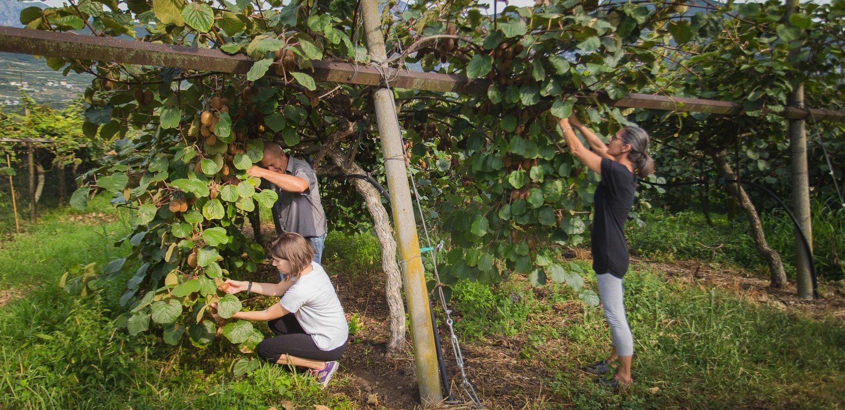 Agritur Il Melograno – Arco (TN) – vendemmia